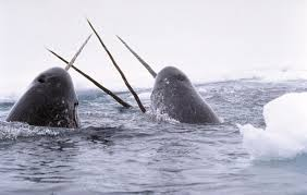 """A group of disgusting Sperm Whales, seen here  """"sword fighting"""" and group masturbating."""