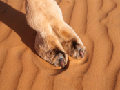 The Temptations of the Camel Toe