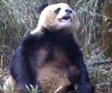 Disturbing Video: Panda Caught Self-raping